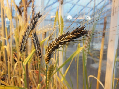OSU Barley Project 2013 Barley close up